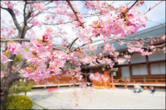 東寺の桜2018の開花状況や見ごろ!ライトアップや混雑情報も