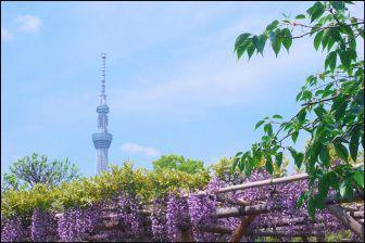 亀戸天神社の藤棚・藤の花の見頃2018!開花状況や混雑情報