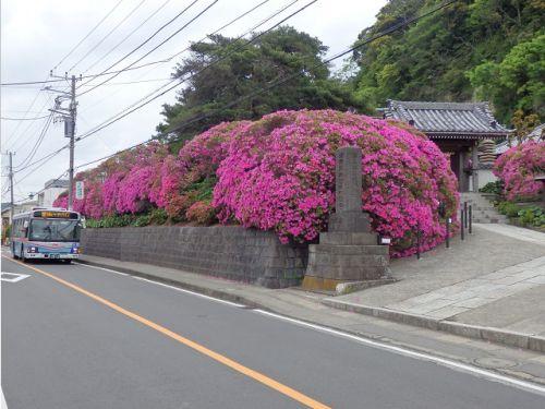 【ゴールデンウィークの鎌倉】安養院のツツジと祇園山
