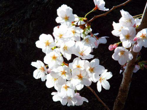 桜を巡る>>>増上寺