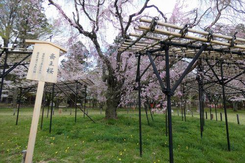 上賀茂神社の斎王桜